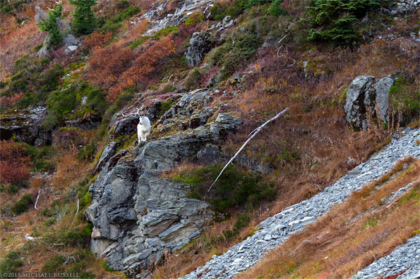 mountain goat below table mountain in the mount baker wilderness