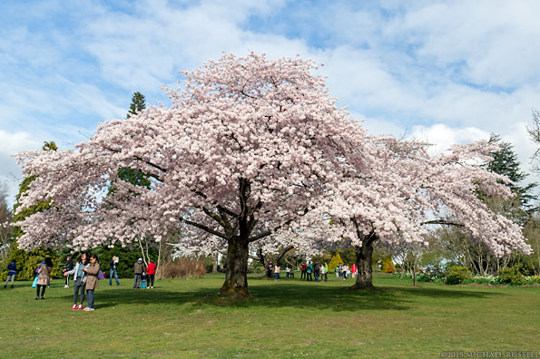tourists looking at Akebono cherries in queen elizabeth park