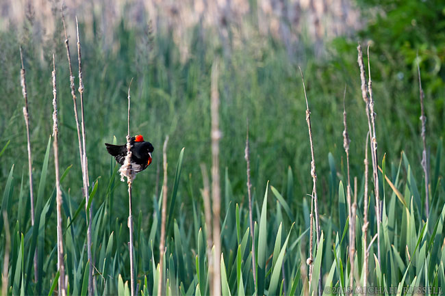 male red-winged blackbird in elgin heritage park