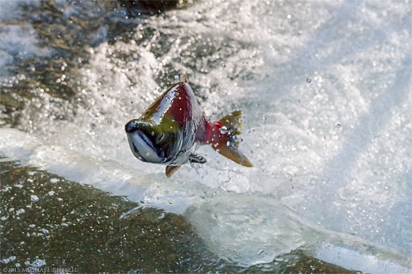 male sockeye salmon jumping in weaver creek spawning channel