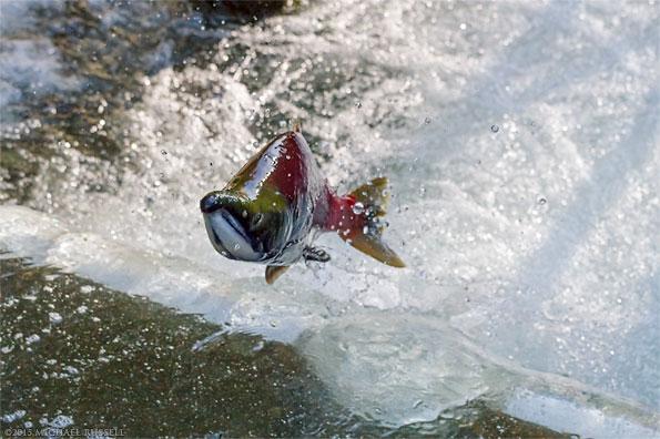 male sockeye salmon jumping in weaver creek spawning channel