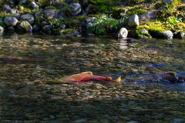 sockeye salmon swimming in weaver creek spawning channel