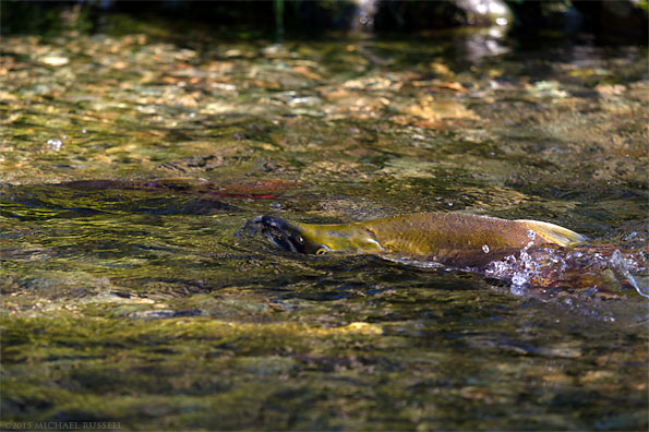 sockeye salmon swimming in weaver creek spawning channel