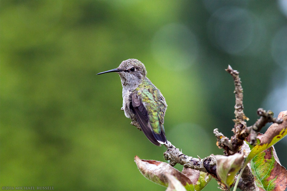 female anna's hummingbird - Calypte anna - in the fraser valley of british columbia