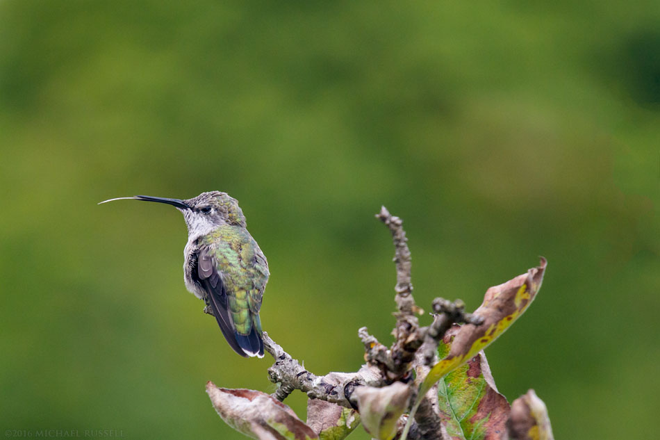 female anna's hummingbird flicking her tongue - Calypte anna - in the fraser valley of british columbia