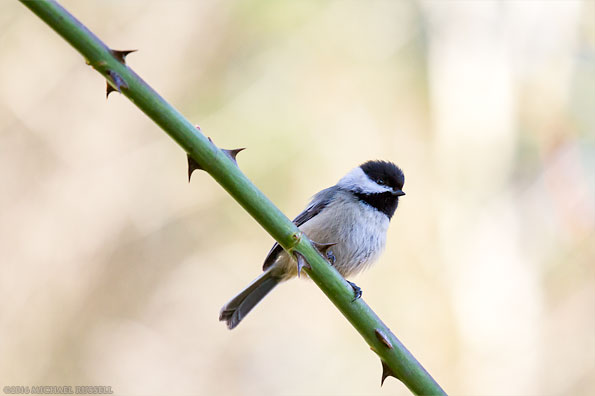 black capped chickadee sitting on a rose branch