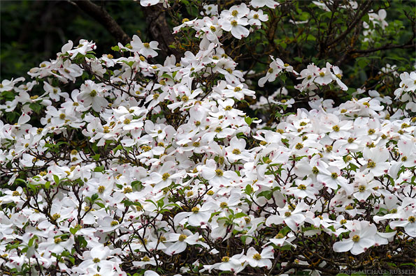 hybrid dogwood flowers - cornus nuttallii x cornus florida in british columbia