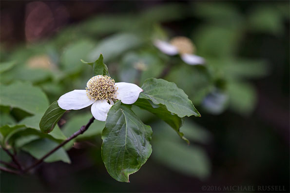 pacific dogwood flowers - cornus nuttallii - in british columbia