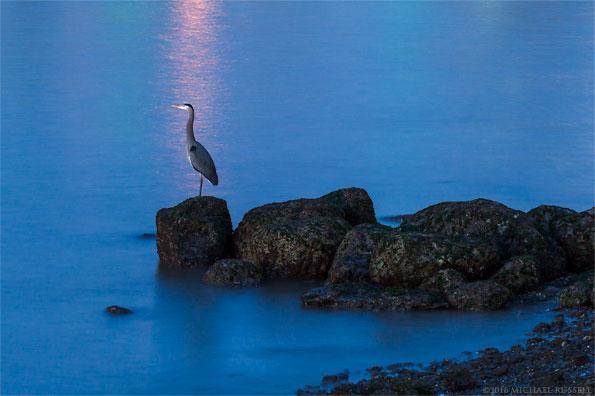 great blue heron ardea herodas in english bay vancouver