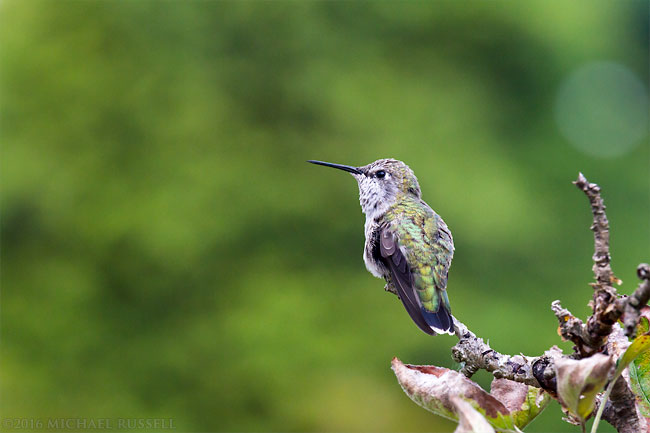 juvenile female annas hummingbird