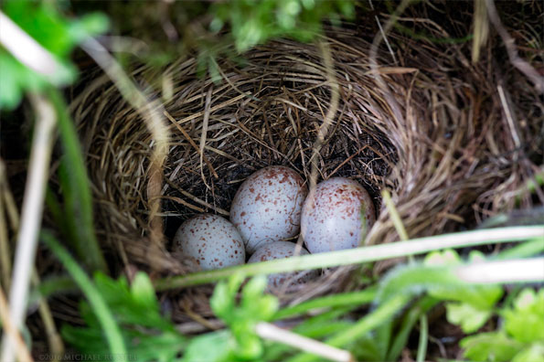 dark eyed junco nest - junco hyemalis - eggs in a ground level nest