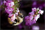 bumblebeeonheather
