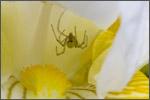 spiderinirisflower