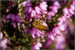 honeybeeonheather