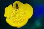 buttercupant